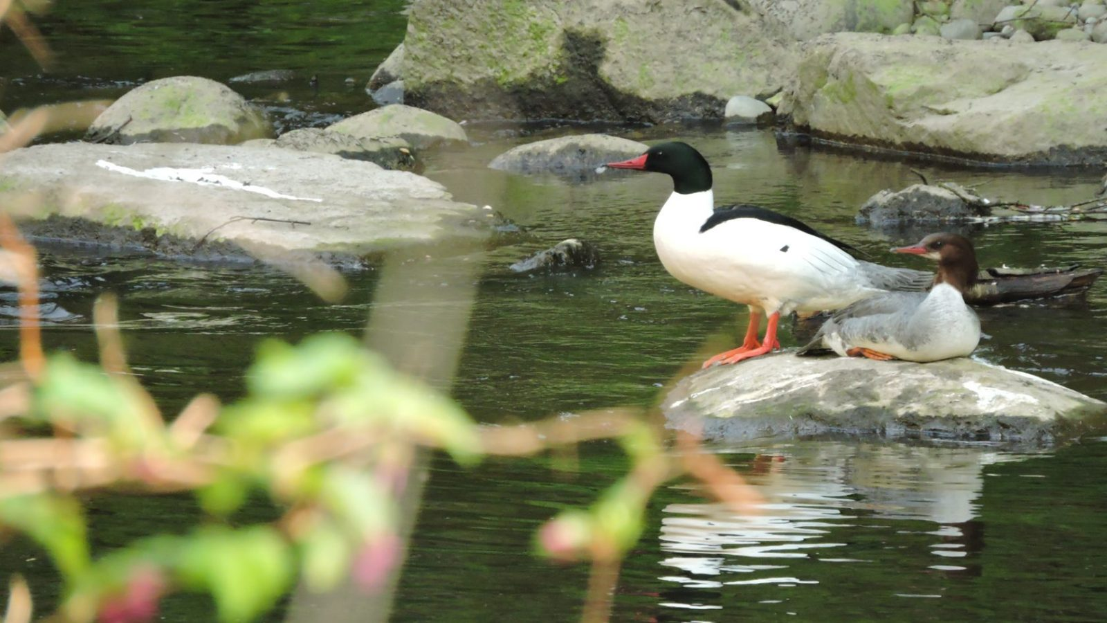 common_merganser
